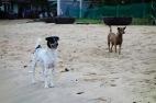 Phu Quoc ridgeback dogs on the beach near my resort